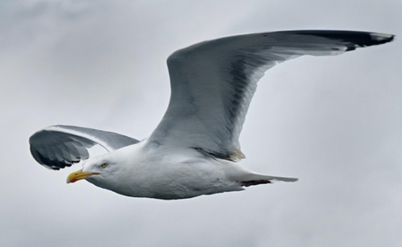 Tip of the Week - Photographing Birds in Flight